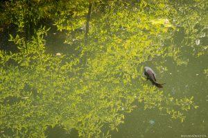 poisson - étang - l'île verte - Châtenay-Malabry